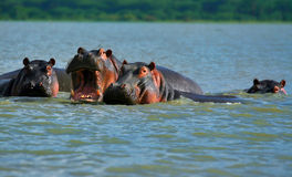 Hippos Royalty Free Stock Photo