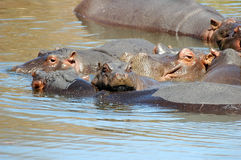 Hippos. At Kruger national park, South Africa Royalty Free Stock Photography