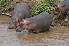 Hippos Royalty-vrije Stock Fotografie