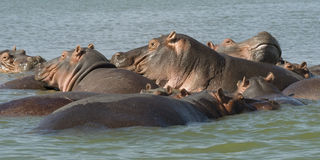 Hippos 2 Stock Images