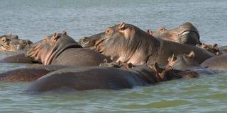 Hippos 2 Stock Afbeeldingen