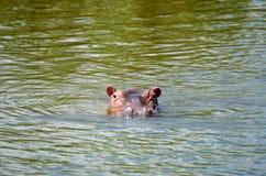 Hippos Stock Photography