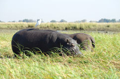 Hippos. Two hippos and a bird in the wild in Botswana, Africa Royalty Free Stock Photography
