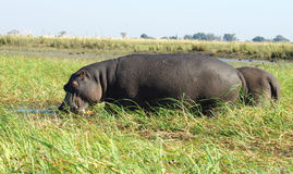 Hippos. Two hippos in the wild in Botswana, Africa Stock Photo