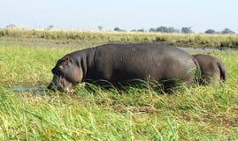 Hippos Stock Photo