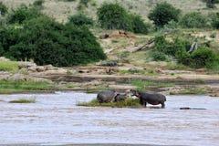 Hippos Royalty-vrije Stock Foto