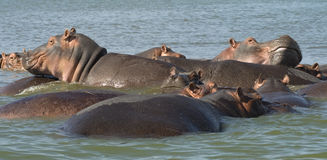 Hippos 3. Group of hippos in lake Chamo, Southern Ethiopia royalty free stock photography
