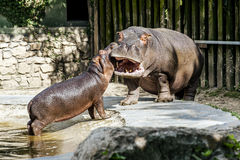 Hippos. Baby hippopotamus with her mother in the park fauna Stock Photography