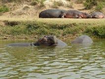 hippos Royalty-vrije Stock Afbeelding