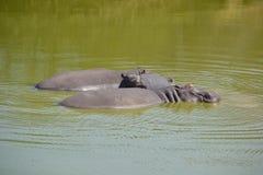 hippos Στοκ Φωτογραφίες