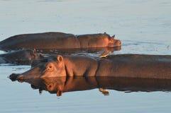 hippos Fotografie Stock Libere da Diritti