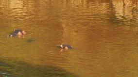 hippos απόθεμα βίντεο