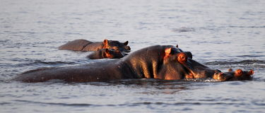 Hippos. A hippo family in the water - mom and a small son Royalty Free Stock Photos