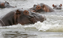 Hippos Stock Photography