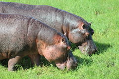 hippos Imagen de archivo
