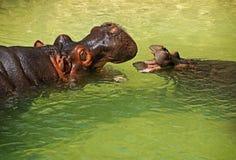 Hippos Stock Photos