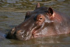 Hippos in Africa Royalty Free Stock Photography