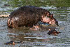Hippos in Africa Royalty Free Stock Images