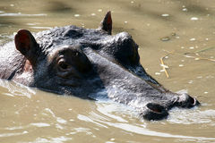 Hippos in Africa Stock Photography