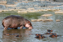 Hippos in Africa Stock Photo