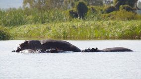 Hippos in african lake