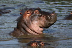 Hippos in Afrika royalty-vrije stock afbeelding