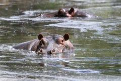 Hippos (amphibius van het Nijlpaard) Stock Foto