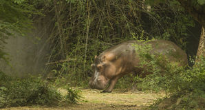Hippos. Asian hippos in zoological park, India stock photography