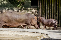 Hippos. Baby hippopotamus with her mother in the park fauna Royalty Free Stock Photo