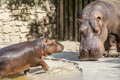 Hippos Stock Images