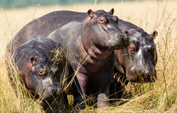 Hippos on the banks of the Chobe river. Hippopotami on the banks of the chobe river in Botswana Royalty Free Stock Images