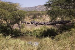 Hippopotamus herd on the banks of a river in the Serengeti. Hippos bask in the sunshine along the banks of the River on the Serengeti in Tanzania Africa Stock Image