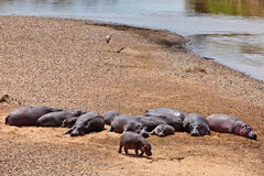 Hippos are basking in the sun on the sandy bank Royalty Free Stock Image