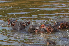 Hippos bathing Royalty Free Stock Images