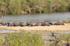 Hippos bij Park Kruger Stock Afbeeldingen
