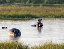 Hippos in Botswana Royalty Free Stock Photos