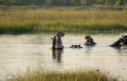 Hippos in Botswana Royalty Free Stock Image