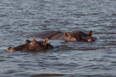 Hippos in Botswana. A pair of hippos swimming in the Chobe River in Botswana, their heads just barely above water Stock Photo