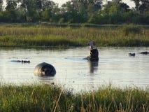 Hippos in Botswana Stock Photos