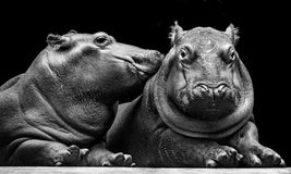 Hippos calves. 2 Hippos calves close-up lies and relaxes, Isolated on black background royalty free stock photography