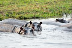 Hippos in Chobe National Park, Botswana Stock Images