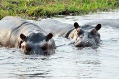 Hippos in Chobe National Park, Botswana Royalty Free Stock Photo