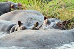 Hippos in Chobe National Park, Botswana Stock Image