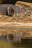 Hippos cooling in mud pool Stock Photography