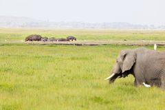 Hippos and Elephant in Kenya. An African Elephant in front of a group of hippos in Amboseli National Park in Kenya Stock Images