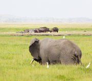 Hippos and Elephant in Kenya. An African Elephant in front of a group of hippos in Amboseli National Park in Kenya Stock Image