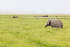 Hippos and Elephant in Kenya Royalty Free Stock Photo