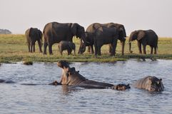 Hippos & Elephants. Hippos and Elephants in Botswana, Africa Royalty Free Stock Photography