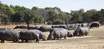 Hippos en zebraskudde Royalty-vrije Stock Foto's