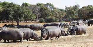 Hippos en zebraskudde Stock Afbeeldingen